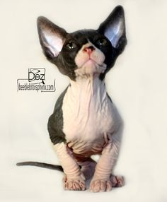 Black and white 8 week old hairless Sphynx kitten.  Hairless Sphynx Kittens For Sale www.beeblebroxsphynx.com http://www.facebook.com/beeblebroxsphynx