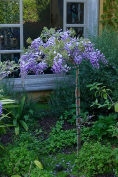 wisteria standard