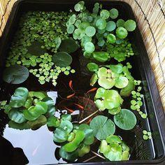 【yamastagram06r】さんのInstagramをピンしています。 《黒コンテナビオ!アマゾンフロッグピットが増えに増え、ウォーターマッシュルームもかなり勢いを増してきた!楊貴妃はボチボチですが産卵しています。 #ビオトープ #biotope #メダカ #水槽 #アクアリウム #楊貴妃》