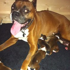 Boxer puppies!