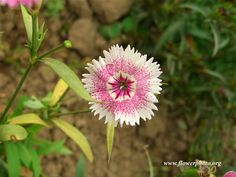 White and pink dianthus flower, Flower photos
