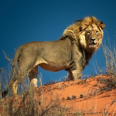 The Lion King, Kalahari Desert, South Africa Lion Images, Lion Pictures, Animal Pictures, Indian Giant Squirrel, Lion Sketch, Lion Photography, Lions Photos, Lion And Lioness, Male Lion
