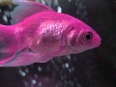 Pretty sure it's just a photoshopped goldfish, but it still looks cool. Pink Love, Pretty In Pink, Pink And Gold, Hot Pink, Black Gold, Color Magenta, Purple, Betta, Fisher