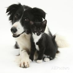 Black-And-White Border Collie Bitch, with Black-And-White Tuxedo Kitten, 10 Weeks Photographic Print by Mark Taylor at AllPosters.com