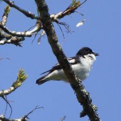 pied flycatcher singing near Loch Arkaig