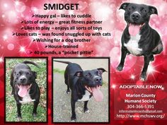 Smidget • American Staffordshire Terrier Mix • Adult • Female • Medium • Marion County Humane Society • Fairmont, WV