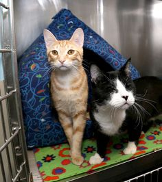 Kingston Humane Society cats Newton, left, and Ray, who is blind in Kingston on Friday March 20 2015. The society hopes that the pair can be adopted together.  Ian MacAlpine/QMI Agency