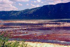 Flamingos at Lake Nakuru National Park in Kenya, taken by Michelle Baker in January, 2003