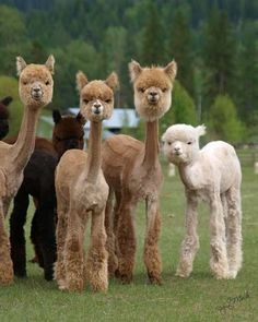 A little tiny herd of alpacas who had their haircuts, except for their sweet little fluffy heads.