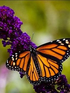 Buddleia davidii 'black knight' - Purple butterfly bush Danaus plexippus - Monarch butterfly Photo by Pam Peterson Black Knight Butterfly Bush, Monarch Butterfly, Hydrangeas For Sale, Double Knockout Roses, Bee Friendly Plants, Japanese Tree, Japanese Maple, Japanese Gardens, Smoke Tree