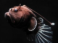 Deep-sea Anglerfish