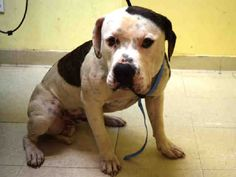 Staten Island LIFELINE – A1078668 MALE, BR BRINDLE / WHITE, PIT BULL MIX, 1 yr OWNER SUR – EVALUATE, NO HOLD Reason PERS PROB Intake condition UNSPECIFIE Intake Date 06/24/2016, From NY 10310, DueOut Date 06/24/2016, I came in with Group/Litter #K16-062774