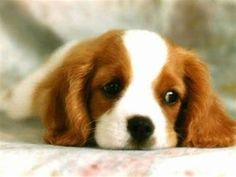 Cavalier King Charles Spaniel – Graceful and Affectionate Cavalier King Charles, King Charles Spaniel, Newborn Puppies, Baby Puppies, Cute Puppies, Love My Dog, Spaniel Breeds, Spaniel Puppies, Dog Washing Station