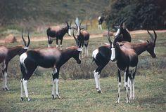 Bontebok park - swellendam - overberg, south africa by south african touris Jungle Safari, Safari Animals, Kruger National Park, Game Reserve, Living At Home, My Land, Show Horses, Beautiful Creatures, South Africa
