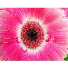 Trademark Art Pink Gerber Canvas Art, Size: 18 x 24, Pink