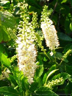 Clethra alnifolia (Summersweet) - beautiful and wonderfully fragrant late blooming shrub.