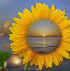 Foto: sunflower on water