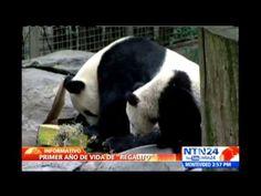 """EE.UU.          """"Zoológico de EE.UU. celebra el primer cumpleaños del oso panda"""" .. El zoológico de San Diego en EE.UU. celebró el primer cumpleaños del oso más joven del parque. A la celebración se unieron otros osos de su misma especie, quienes con un pastel de bambú mezclado con manzanas y zanahorias amenizaron la fiesta. El mamífero es el sexto panda más gigante del lugar. .. . M., 30 Jul 2013. (IPITIMES.COM ® /New York. FUENTE: NTN 24)."""