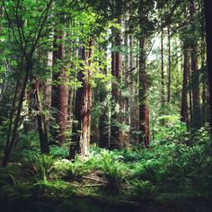 """Navarro River Redwoods State Park--""""The park is located on Highway 128, two miles east of the junction with State Highway 1"""" Redwoods galore"""