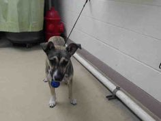 08/17/15-HOUSTON - This DOG - ID#A440237 I am a spayed female, brown and black German Shepherd Dog mix. The shelter staff think I am about 2 years old. I have been at the shelter since Aug 10, 2015. This information was refreshed 56 minutes ago and may not represent all of the animals at the Harris County Public Health and Environmental Services.