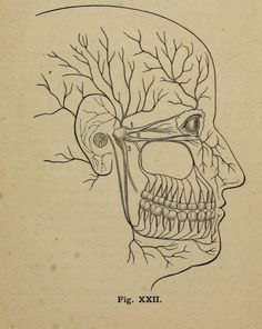Fig. 22. The mouth and the teeth. 1885.