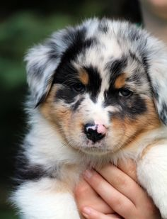 Australian Shepherd puppy out of Ninebark Aussies. Love his face.