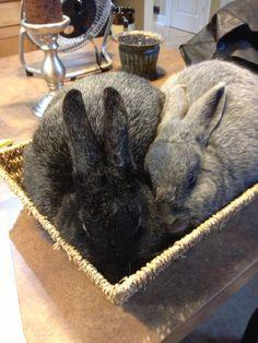 Breeding silver fox rabbits. Raising Rabbits For Meat, Meat Rabbits, Bunny Rabbits, Silver Fox Rabbit, Farm Animals, Cute Animals, New Zealand Rabbits, Netherland Dwarf, Rabbit Breeds