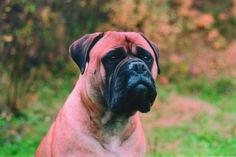 In this brilliant essay, Molosser expert Bas Bosch explains how wrinkling can be a bellwether for hypertype in the Molosser breeds. Modern Molosser  |  www.modernmolosser.com