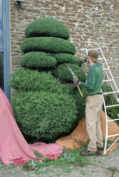 In progress (cloud pruned cupressus)