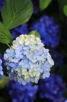 Hydrangea by *Yumi* Hortensia Hydrangea, Hydrangea Garden, Blue Hydrangea, Blooming Flowers, All Flowers, Pretty Flowers, Beautiful Flowers Garden, Amazing Flowers, Beautiful Gardens