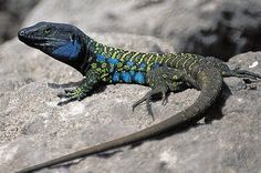 Gallot's Lizard (Gallotia galloti) Canary Islands Reptiles Et Amphibiens, Cute Reptiles, Mammals, Rare Animals, Animals And Pets, Geckos, Lizard Species, Lizard Dragon, Reptile House