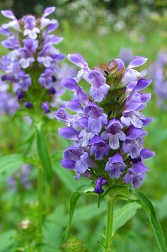 Prunella vulgaris - Selfheal  Uses: healing wounds and stopping bleeding, many other uses including colds, fever, etc. External uses for acne, burns, sores, backaches, and headaches.