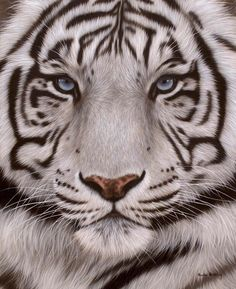 "Glorious! Comments - Big Cats! (@bigcats.world) on Instagram: ""#whitetiger #endangeredspecies #bigcats #bigcatsofinstagram #endangered #amurleopard…"""