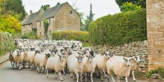 Traffic jams .. errrr .. sheep jams |The Cotswolds