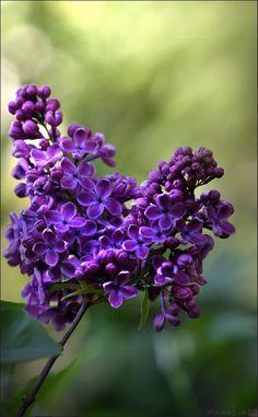Lilac Flowers, Spring Flowers, Beautiful Flowers, Shade Garden, Purple Garden, Purple Love, Bokeh, Trees To Plant, Color Change
