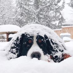 "300 Likes, 39 Comments - Weber the Bernese Mountain Dog (@webers.world) on Instagram: ""It's the weekend so that means it's going to snow again, right? Can you please order some snow for…"" #BerneseMountainDog"