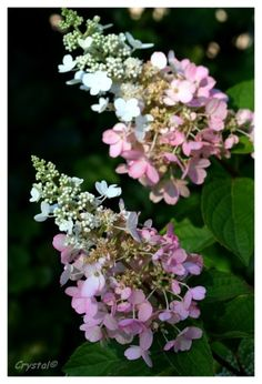 Paniculata Pinky Whinky Mi-juillet