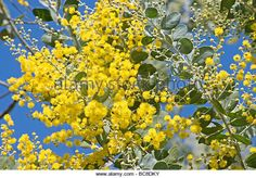 Acacia tree in bloom against blue sky - Stock Image