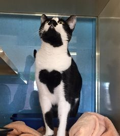 Beautiful cat with an incredible heart-shaped marking right on her chest.