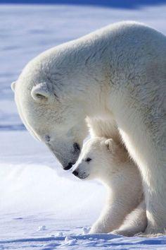 Just plain love polar bear video, mother bears, animals beautiful, cute animals, Baby Polar Bears, Cute Polar Bear, Baby Animals Super Cute, Cute Animals, Polar Bear Video, Mother Bears, We Bear, Belle Photo, Spirit Animal