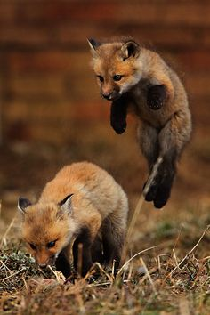 Sneak attack by a sly baby fox! Cute Baby Animals, Animals And Pets, Funny Animals, Wild Animals, Funny Foxes, Wildlife Photography, Animal Photography, Urban Photography, Beautiful Creatures