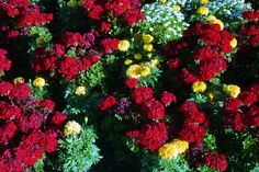 Geraniums and marigolds at Polson, Montana in 1995.  Photography by David E. Nelson