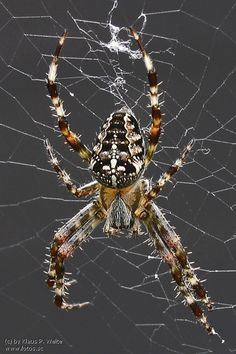 I *think* this one's a Neoscona Arabesca. Anyway, it's very like the ambitious daughters of Arachne who build nets across my screen doors every year. Beautiful ladies, even if they haven't managed to realise that the only game on this trail is human. <3