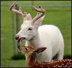 Výsledek obrázku pro white deer