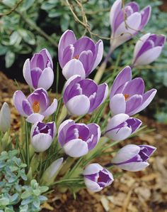 fb6f57fc39f4 Vernus Vanguard Crocus - Veseys. I love crocus- the first sign of spring.