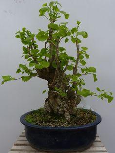 In Oriente, fin dai tempi antichi, il Ginkgo è stata una delle specie più coltivate a bonsai. ~ Hobby Bonsai Bonsai, Hobby, String Garden