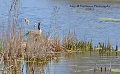 Canada Goose in the Ponds by Judy M Tomlinson Photography