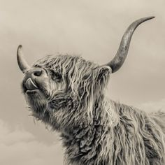 Highland Cattle Fotoprint van Mark Gemmell - bij AllPosters.be