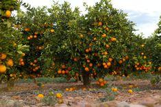 How to Make Agua de Valencia, A Spanish Cocktail - Go! Fruit Plants, Fruit Garden, Garden Trees, Fruit Trees, Orange Farm, Orange Fruit, Orange Zest, Permaculture, Como Plantar Pitaya