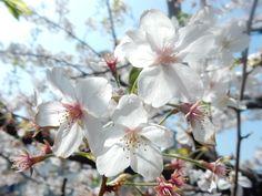 #Cherry blossom